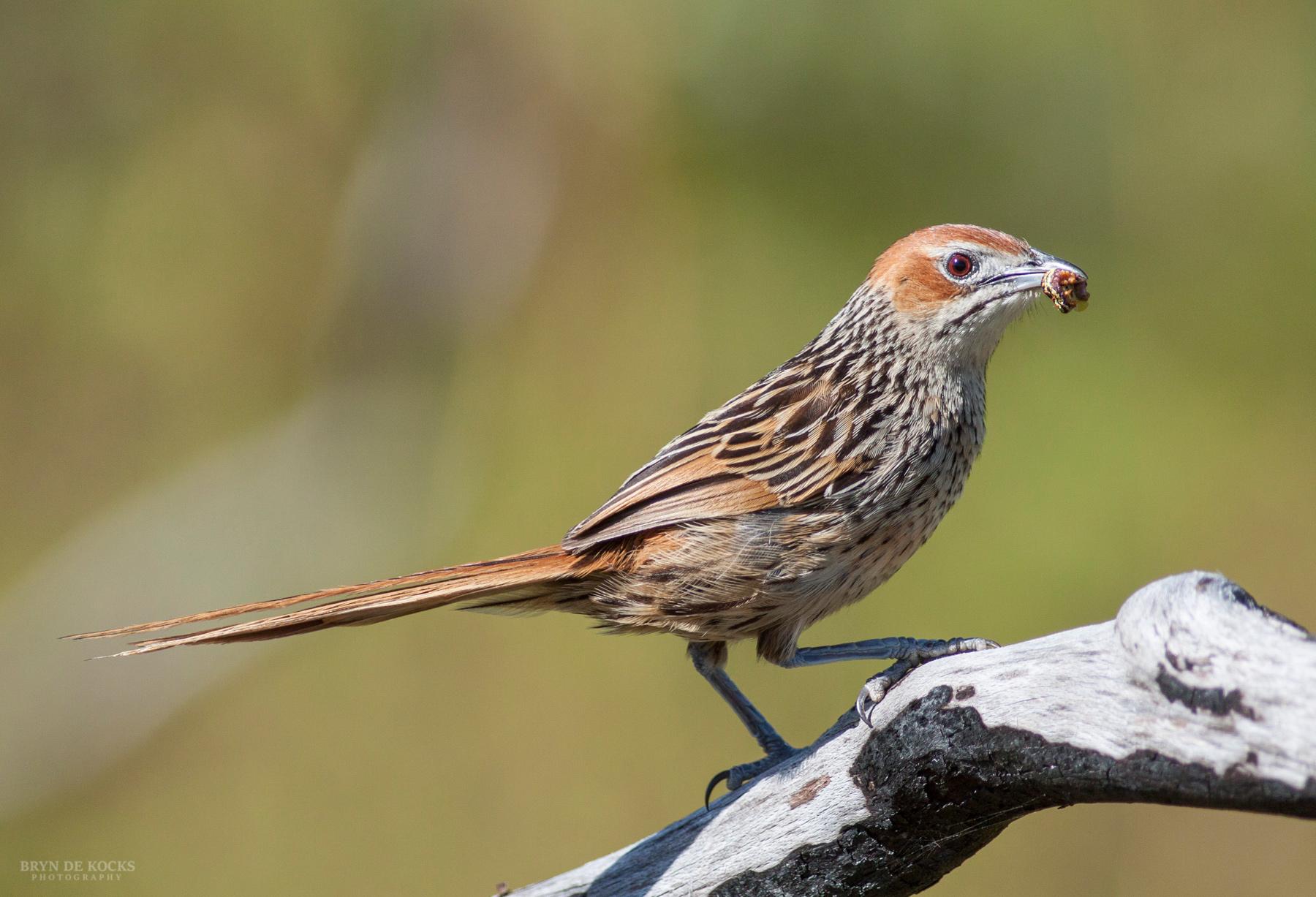 Cape Grassbird with Worm
