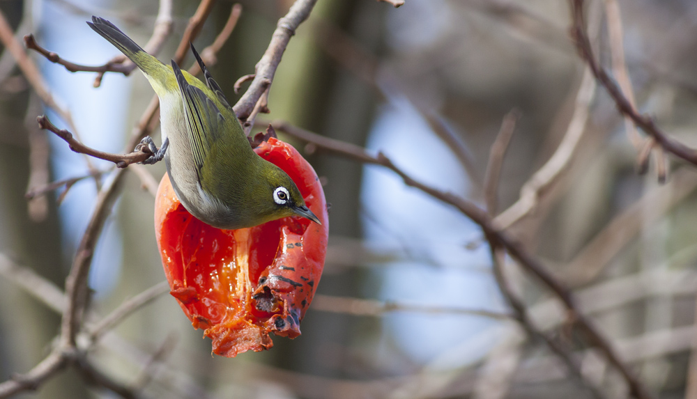 Cape White Eye Eating