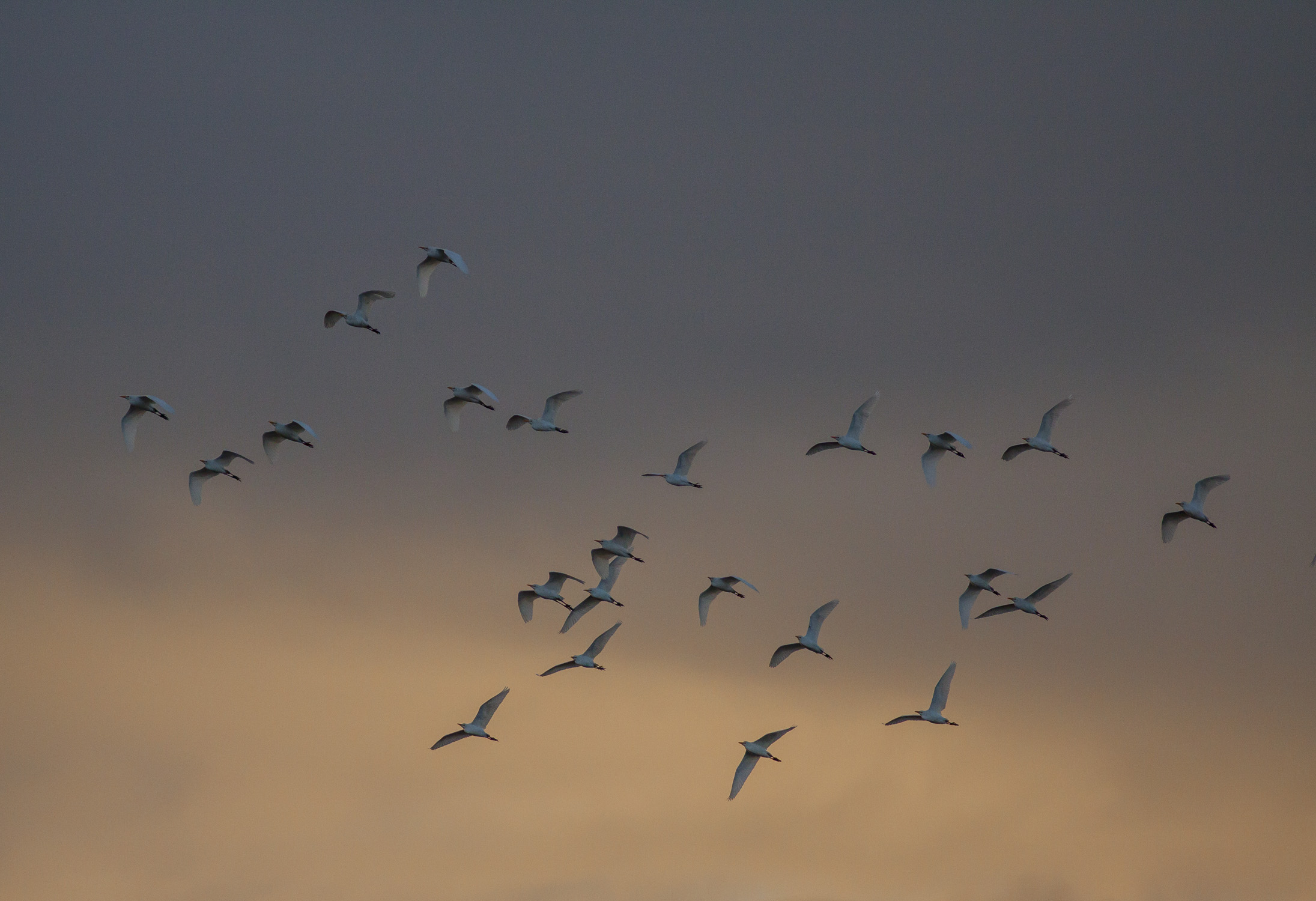 Cattle Egrets at Sunrise