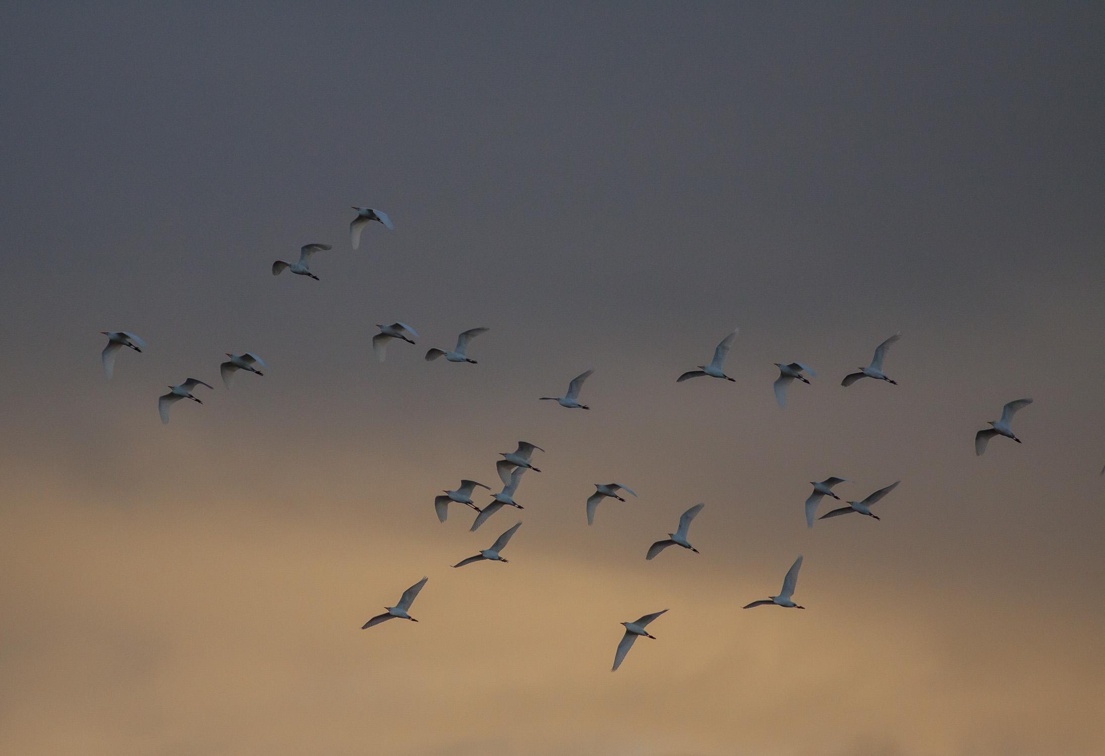 Cattle Egrets at Sunrise