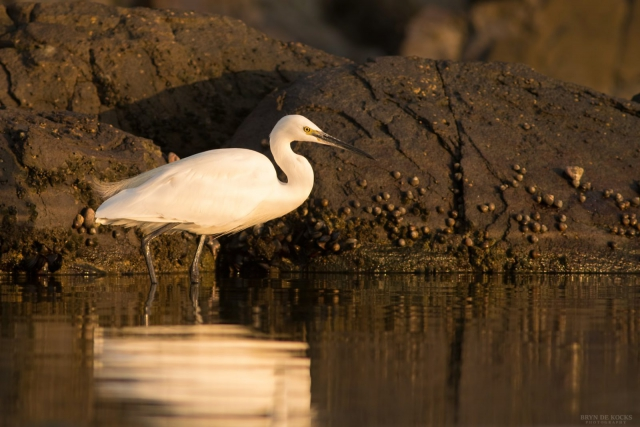 Little Egret at Strand Beach