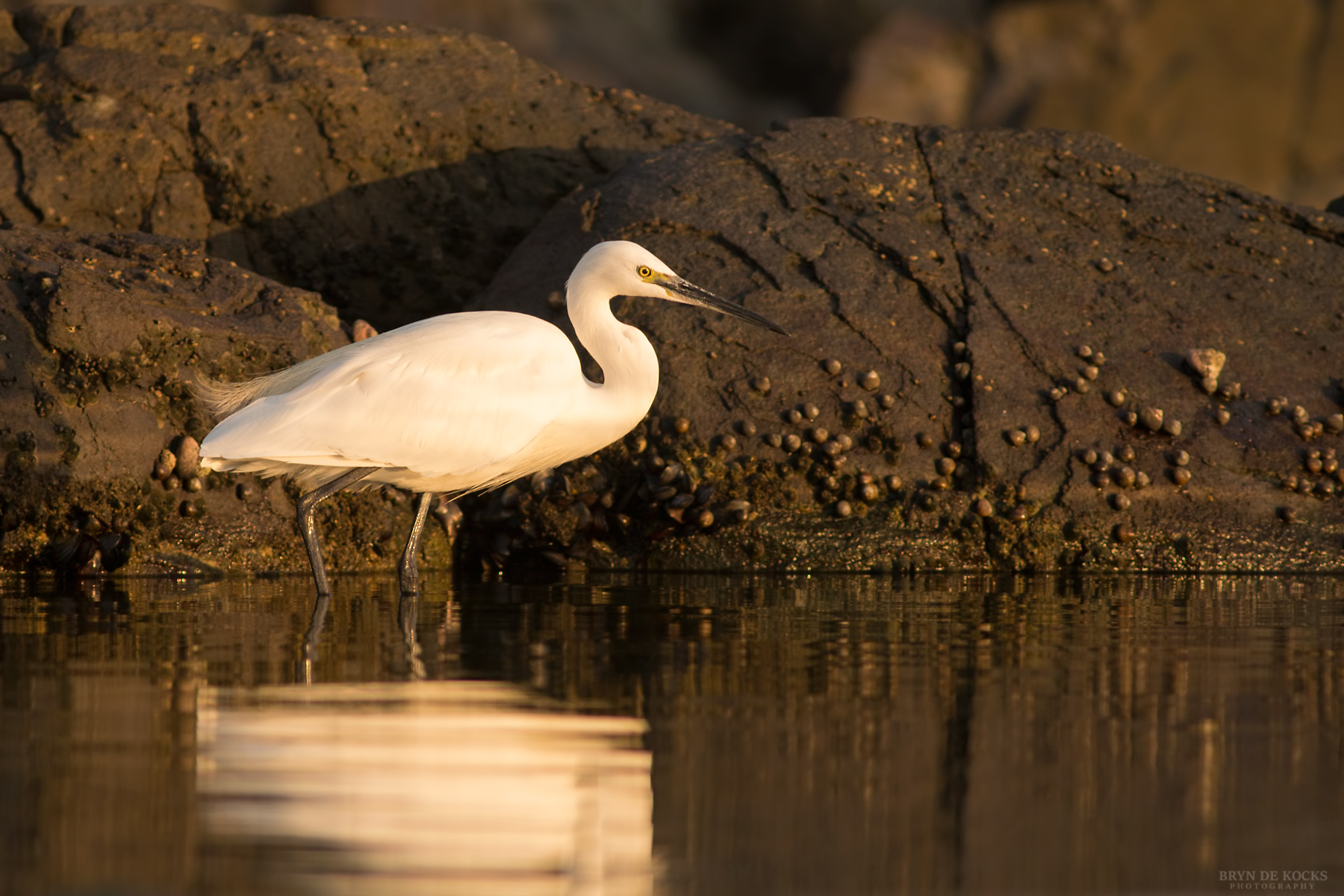Little Egret at Strand Beach