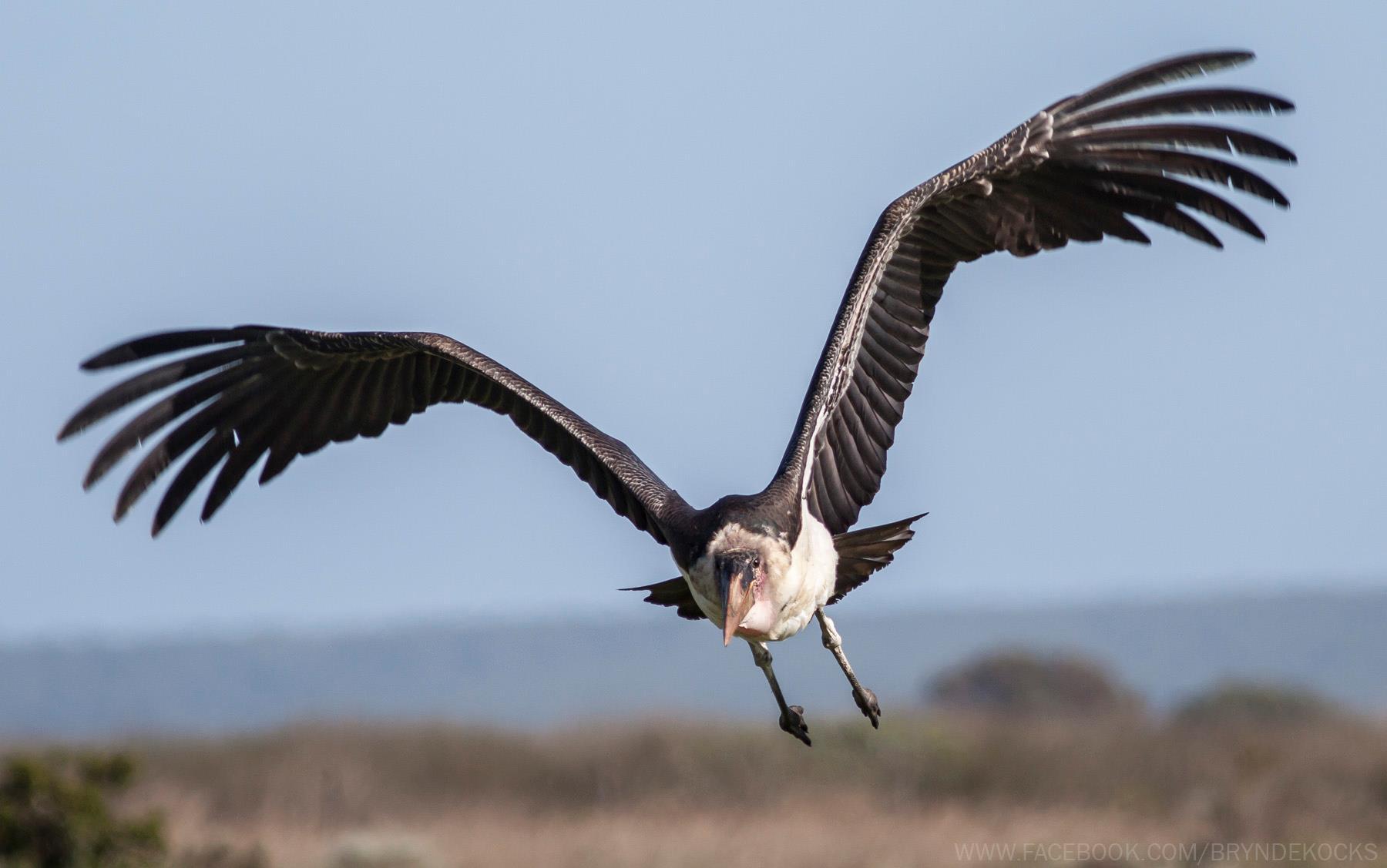Marabou Stork at Bredasdorp
