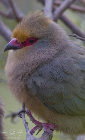 Red-Faced Mousebird Closeup