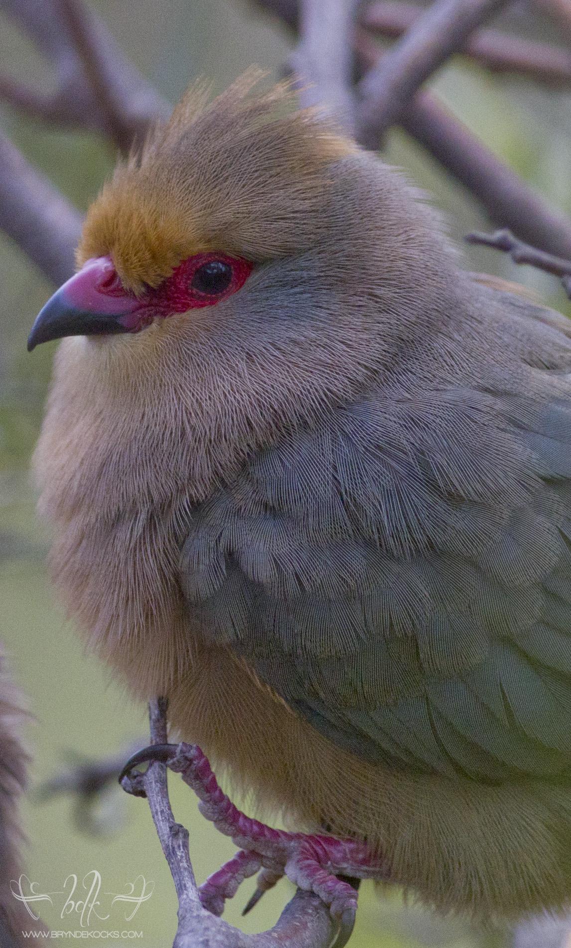 Red-Faced Mousebird Closeup