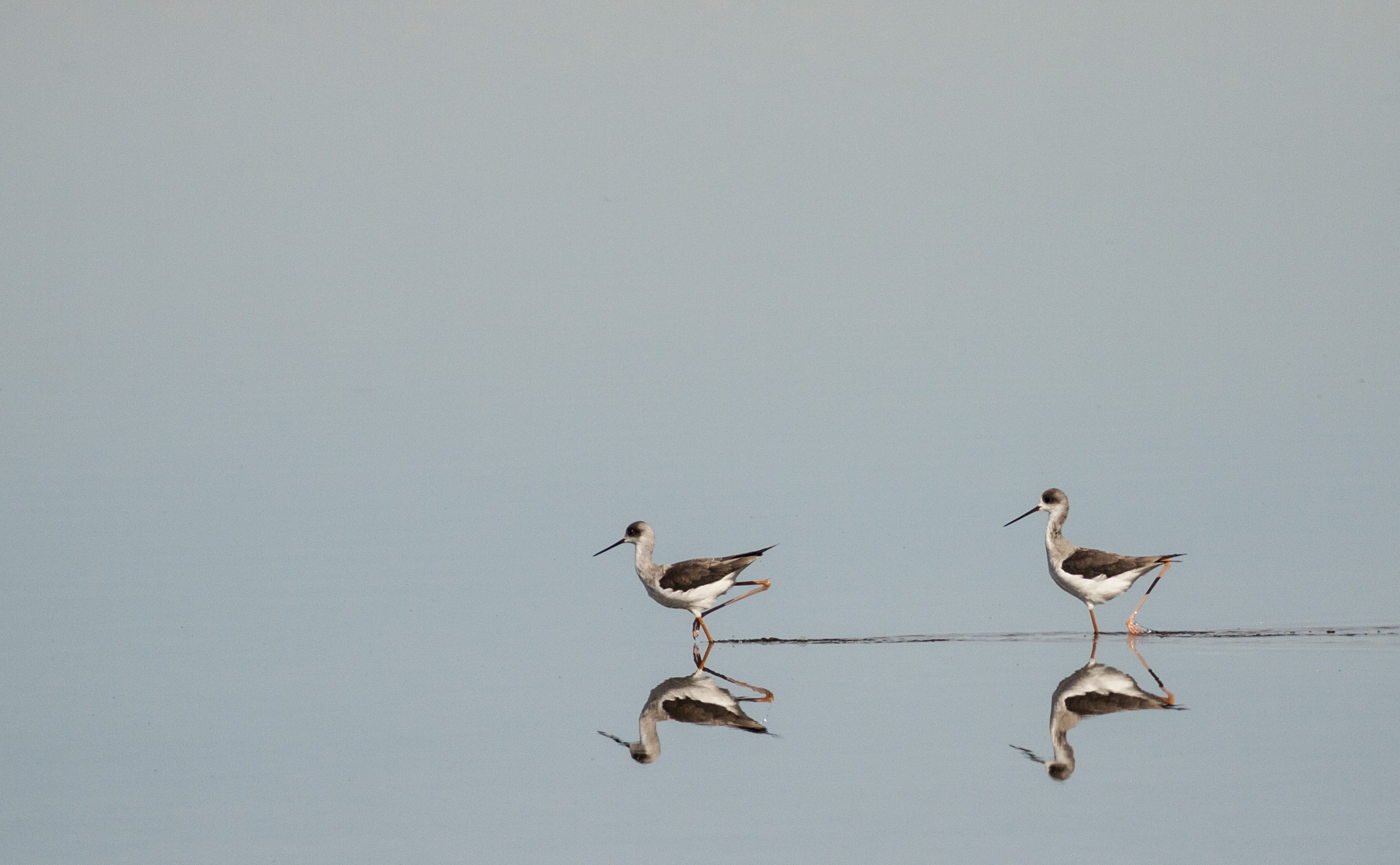 Reflection of Black Winged Stilts