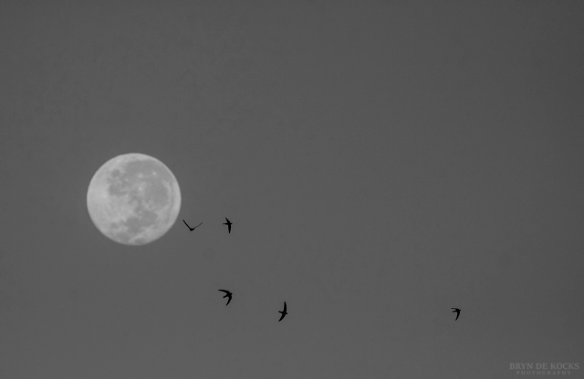 Swifts and the Moon