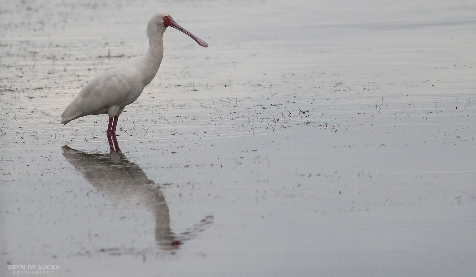 african-spoonbill-reflection