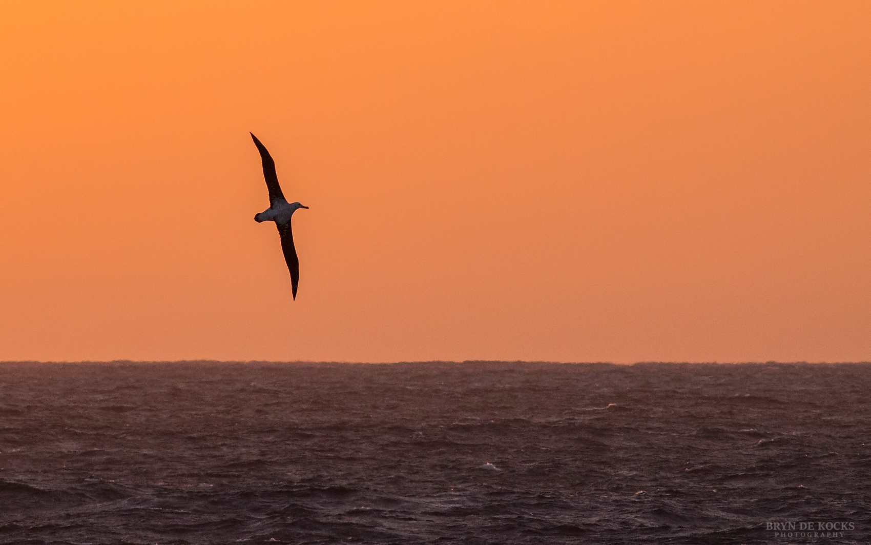Wandering Albatross flying above the horizon at sunrise