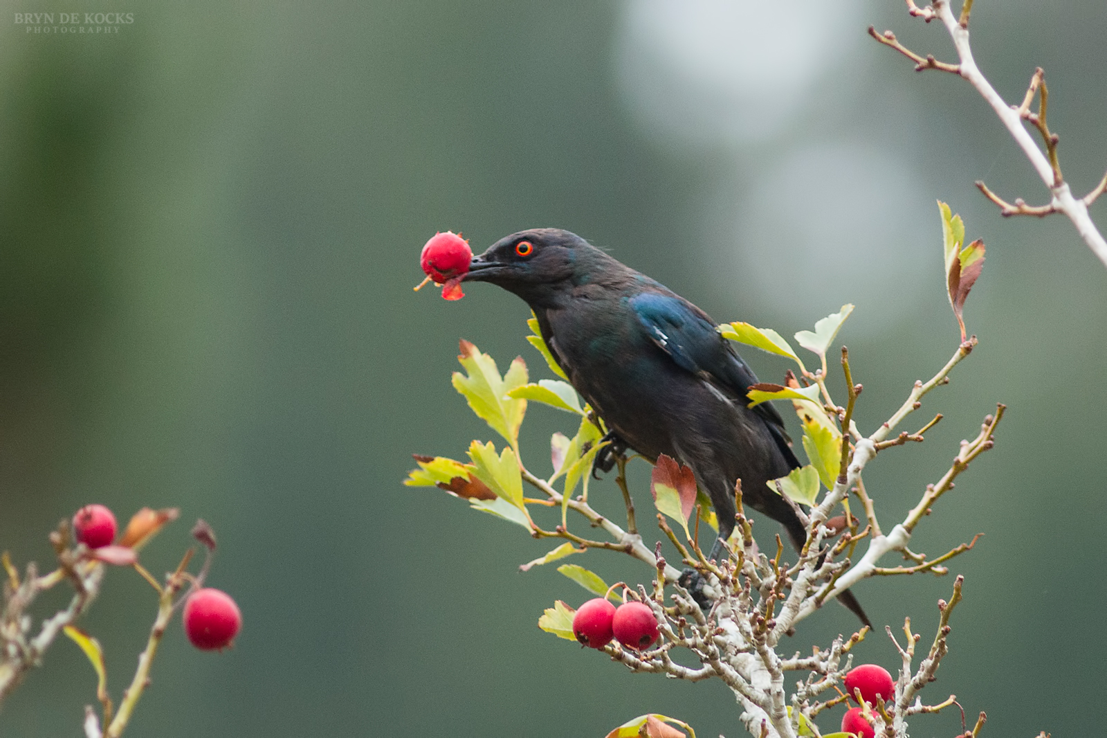 black-bellied-starling