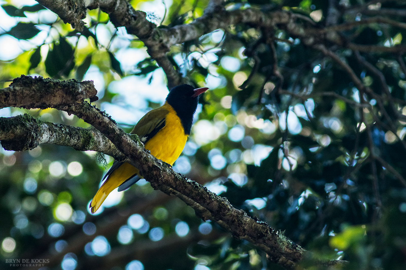 black-headed-oriole