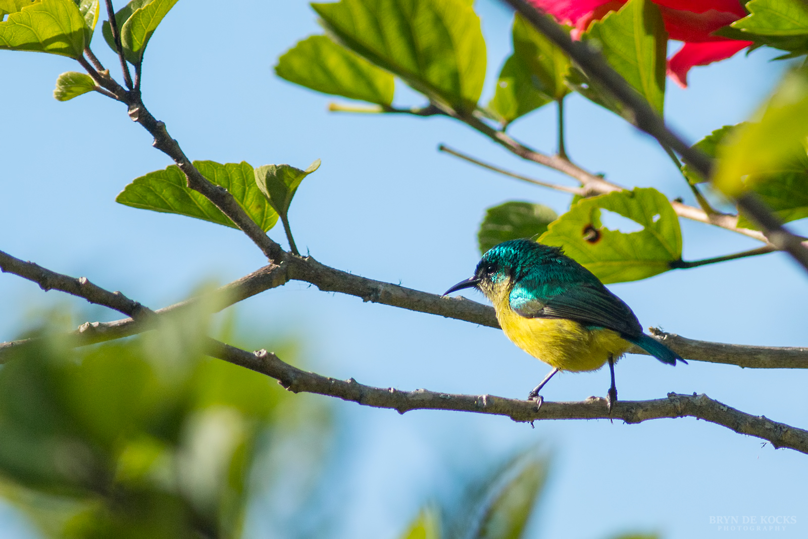 collared-sunbird