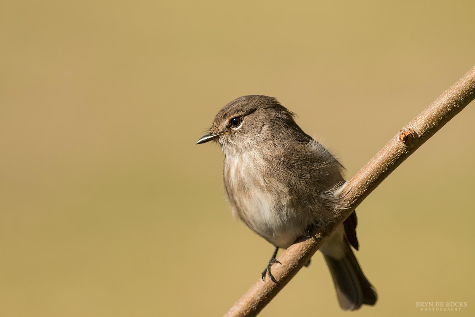 dusky-flycatcher