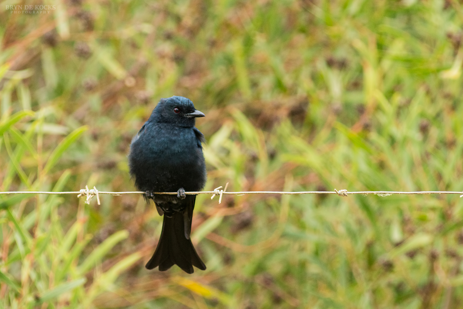 forked-tailed-drongo