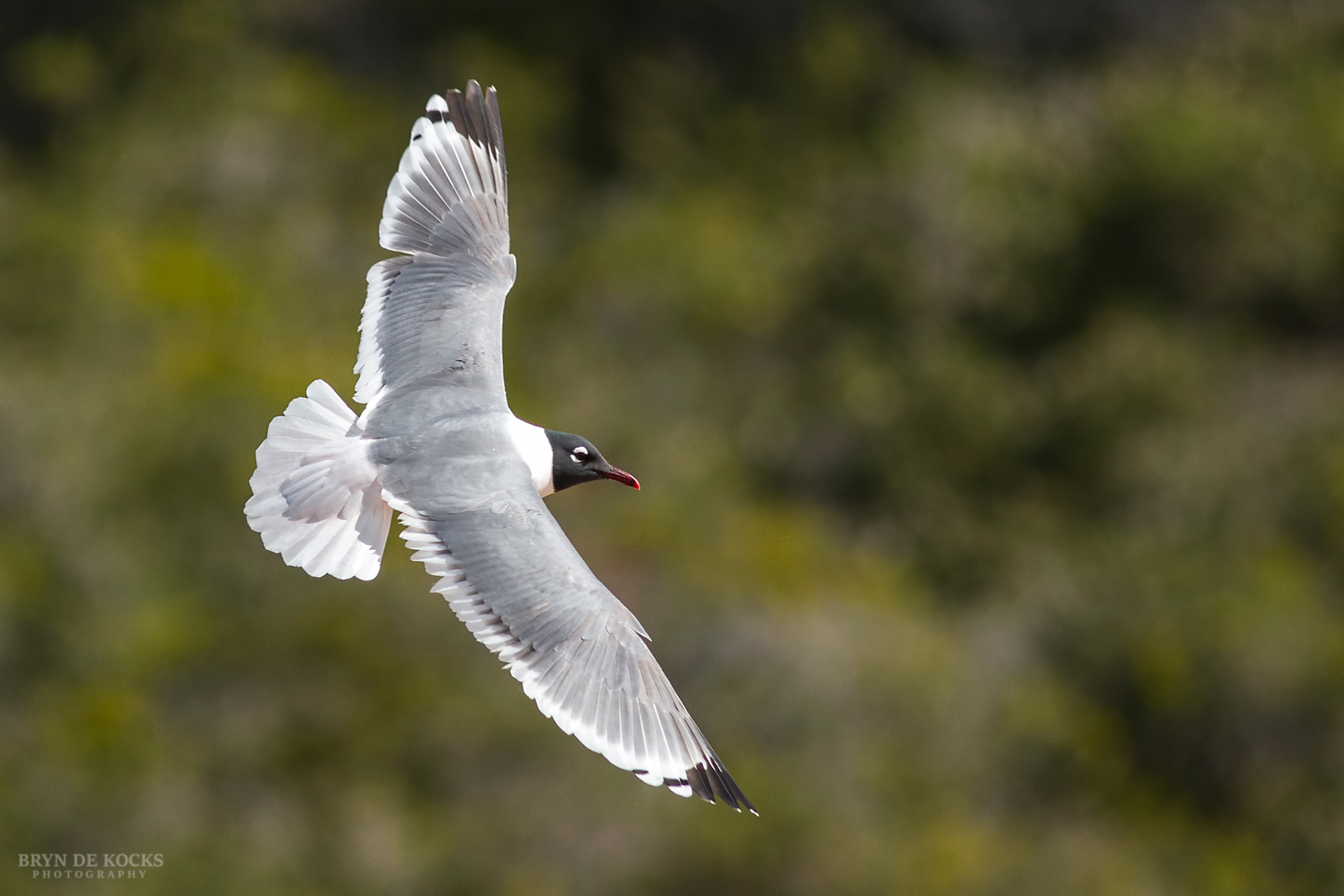 franklins-gull-in-flight