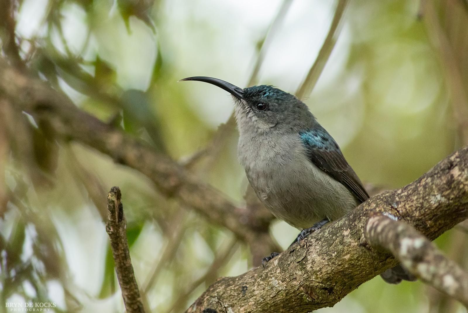 grey-sunbird