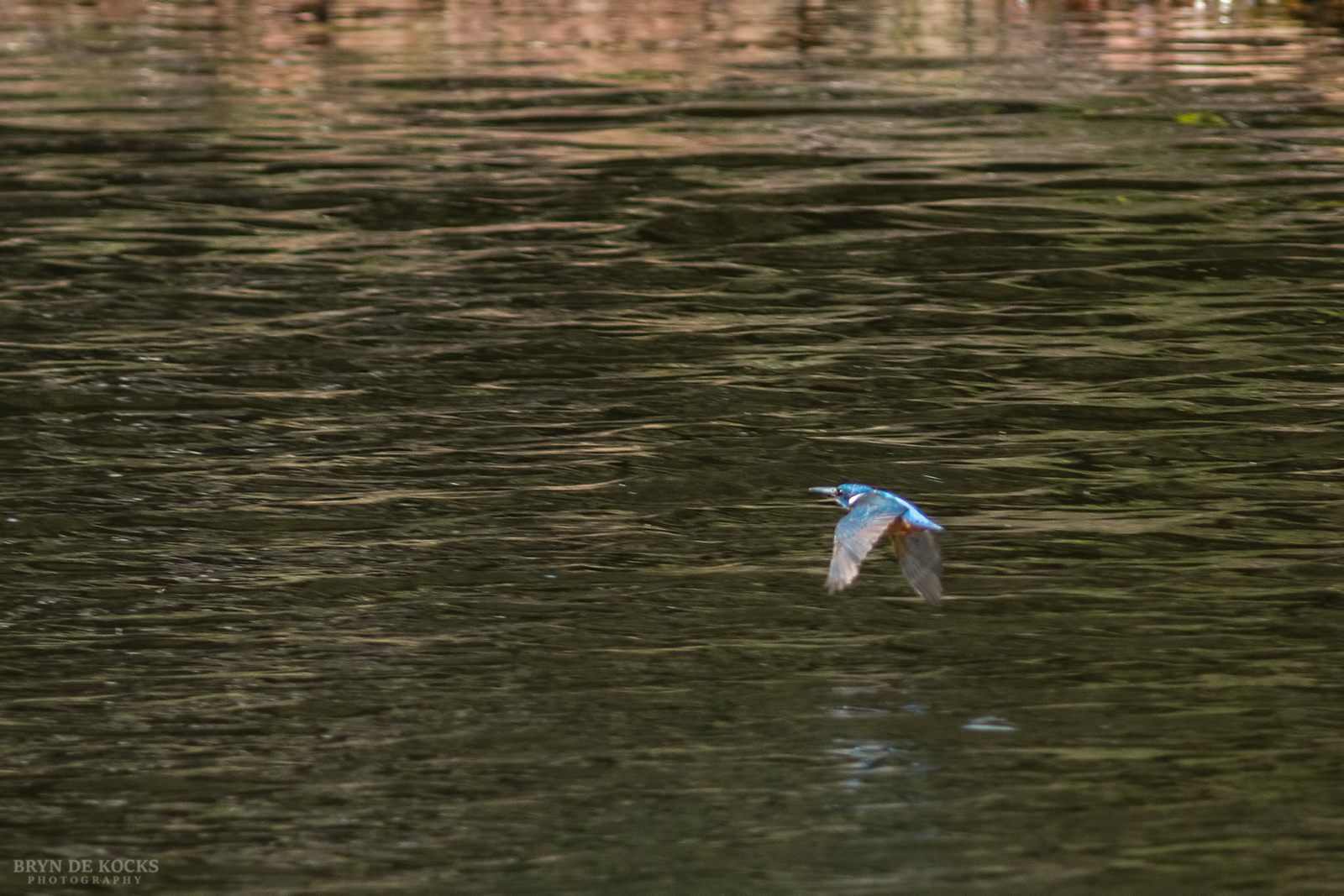 half-collared-kingfisher