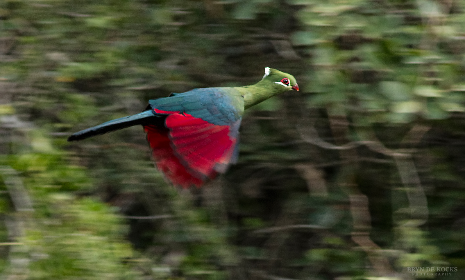 knysna-turaco-flight