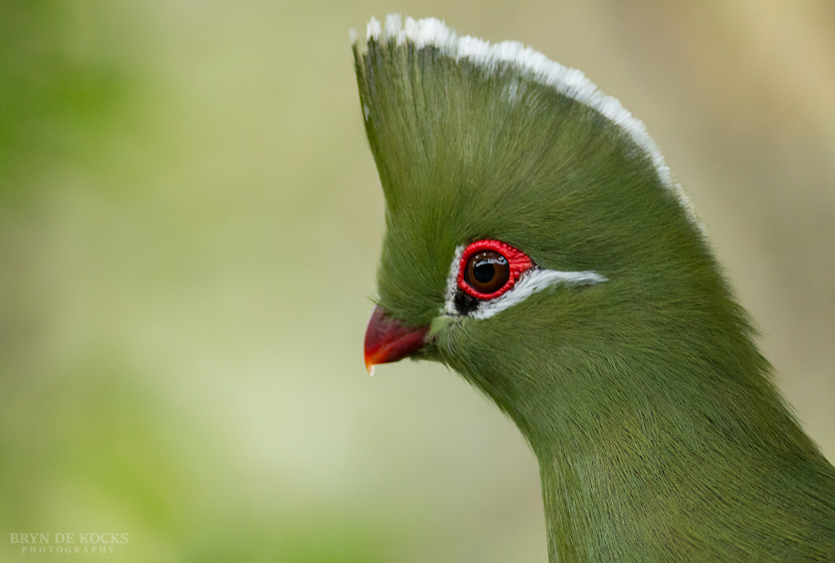 knysna-turaco-kingfisher-country-house