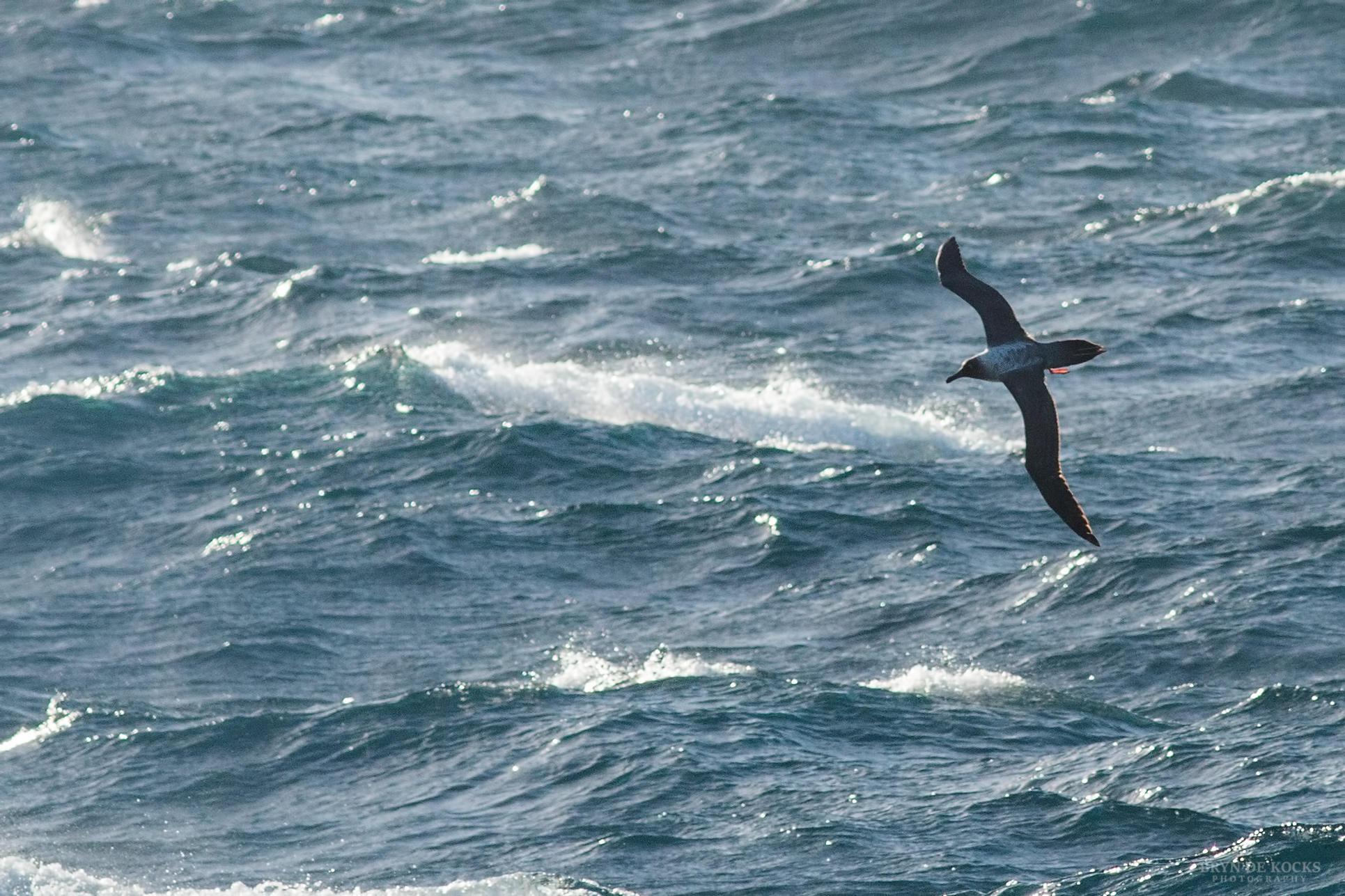 Light Mantled Albatross