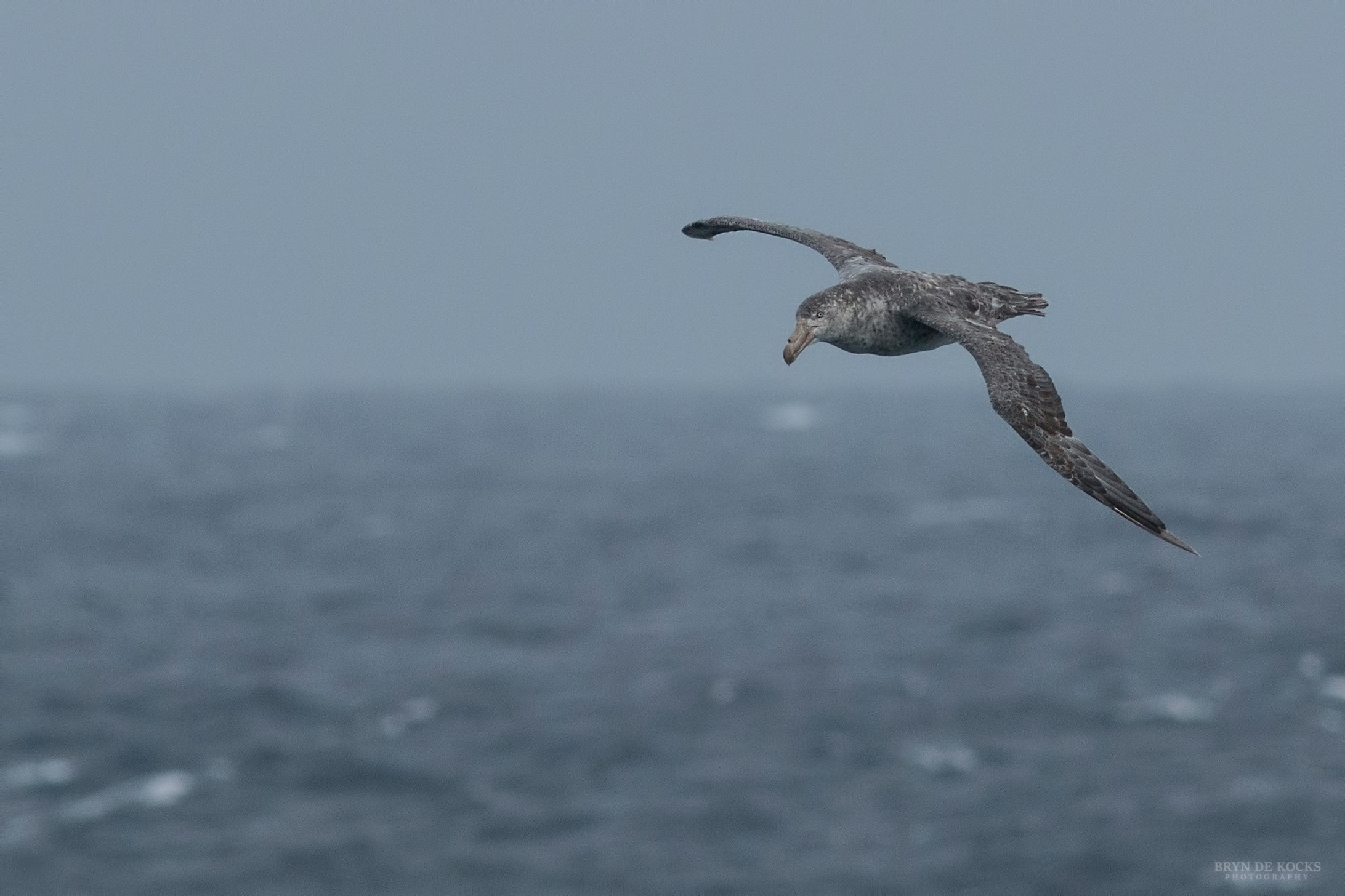 northern_giant_petrel