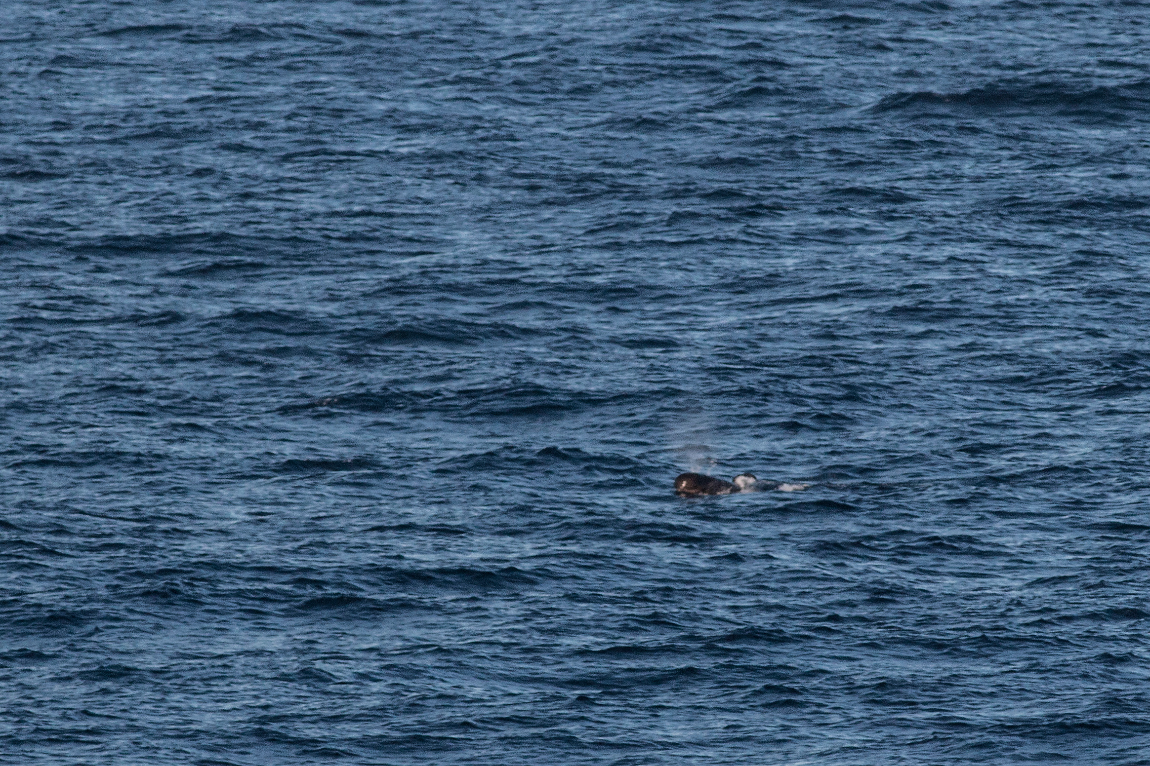 A Long Finned Pilot Whale behind the boat