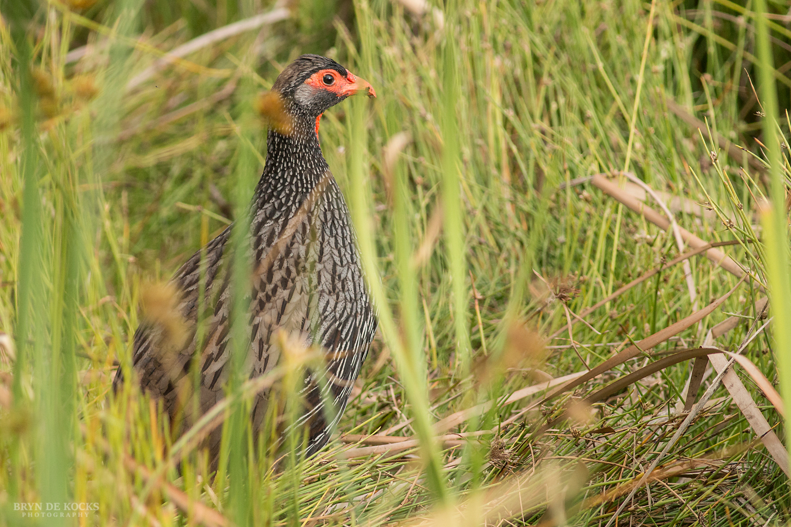 red-necked-spurfowl