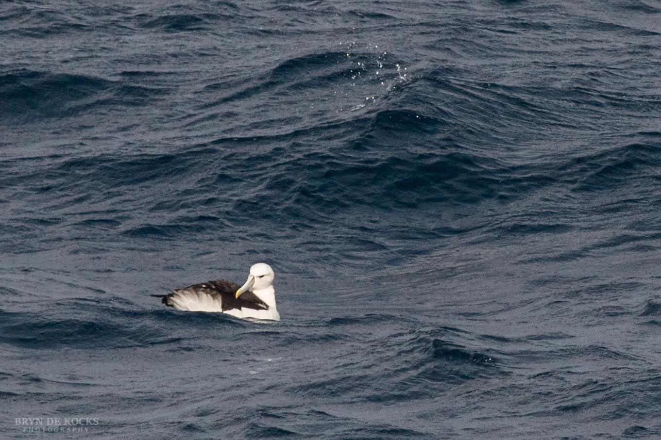 Shy Albatross preening