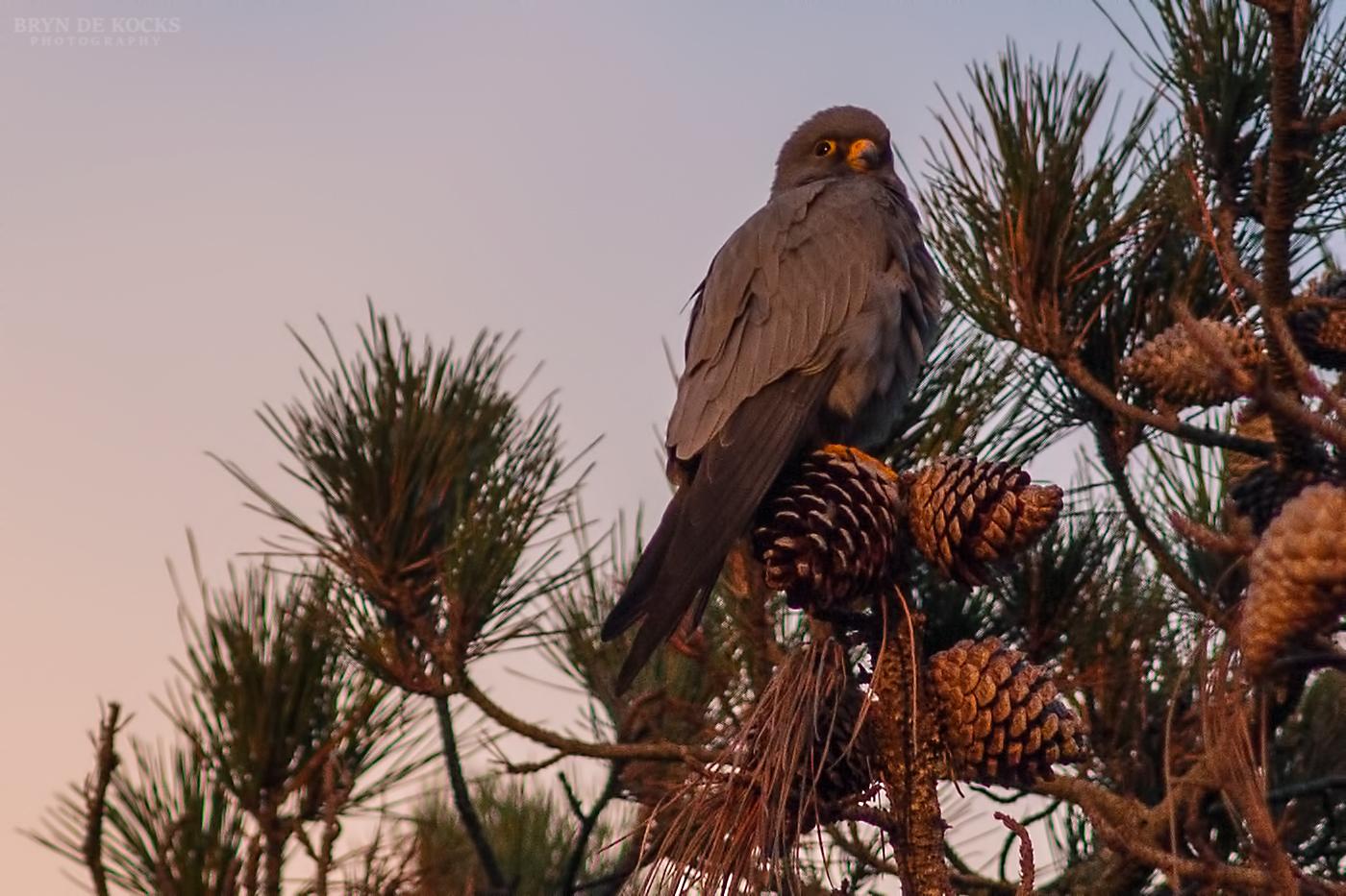 sooty-falcon