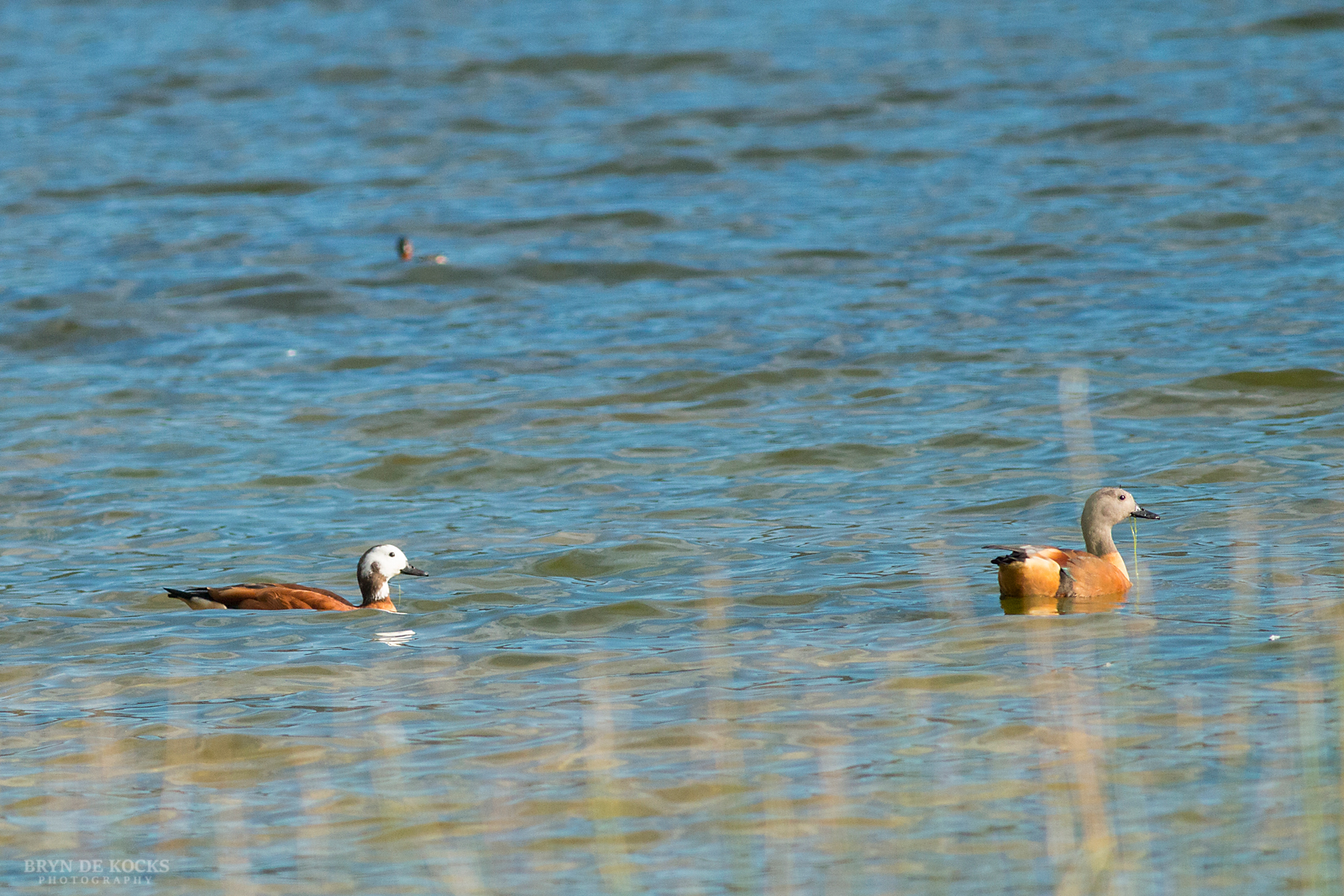 south-african-shelduck