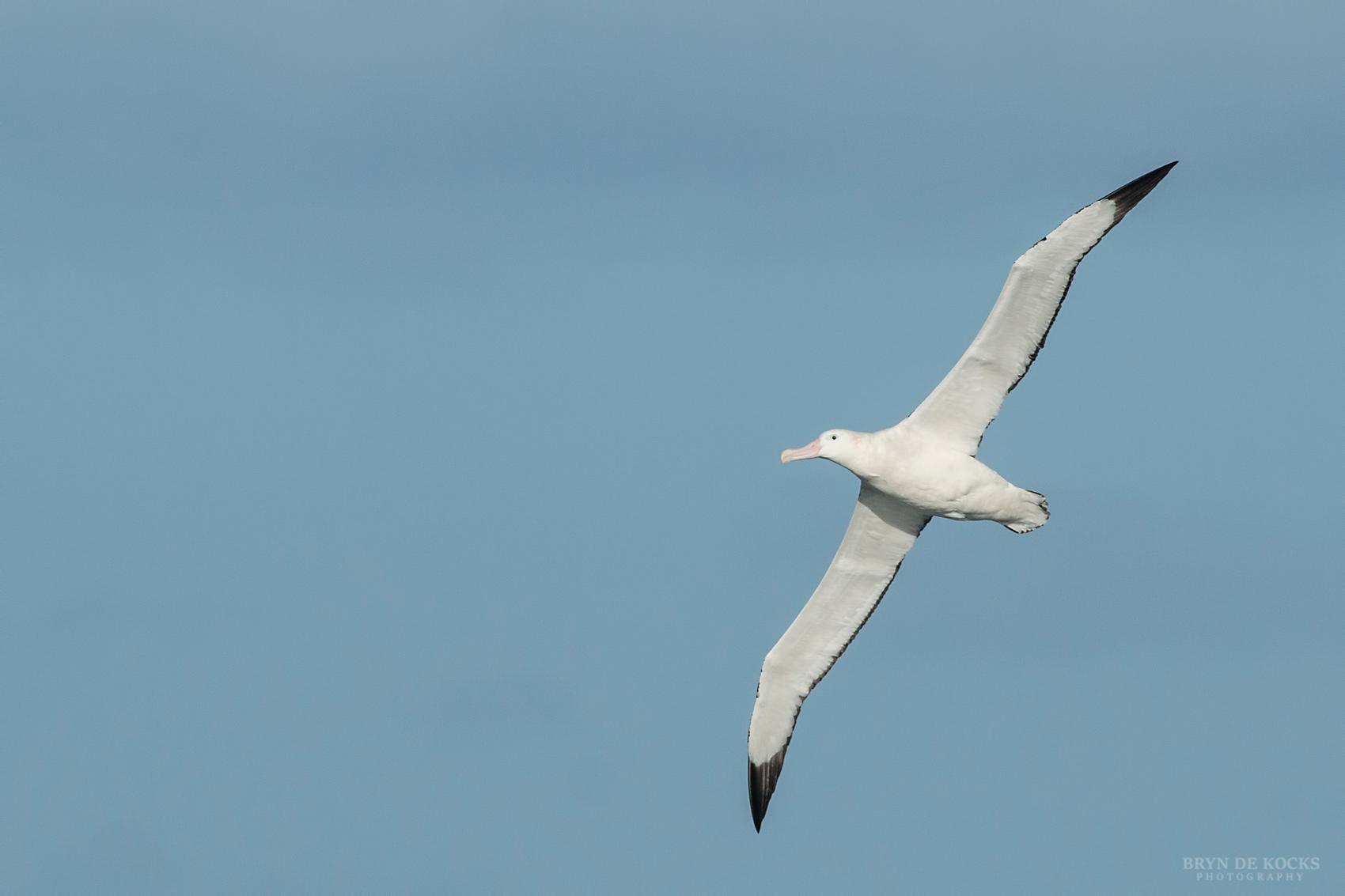 Wandering Albatross Underwing
