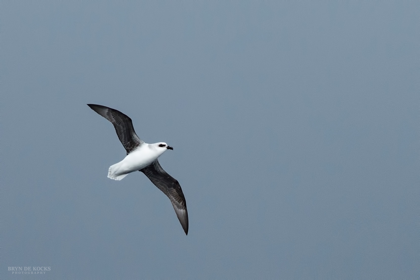 White Headed Petrel showing the underwings.