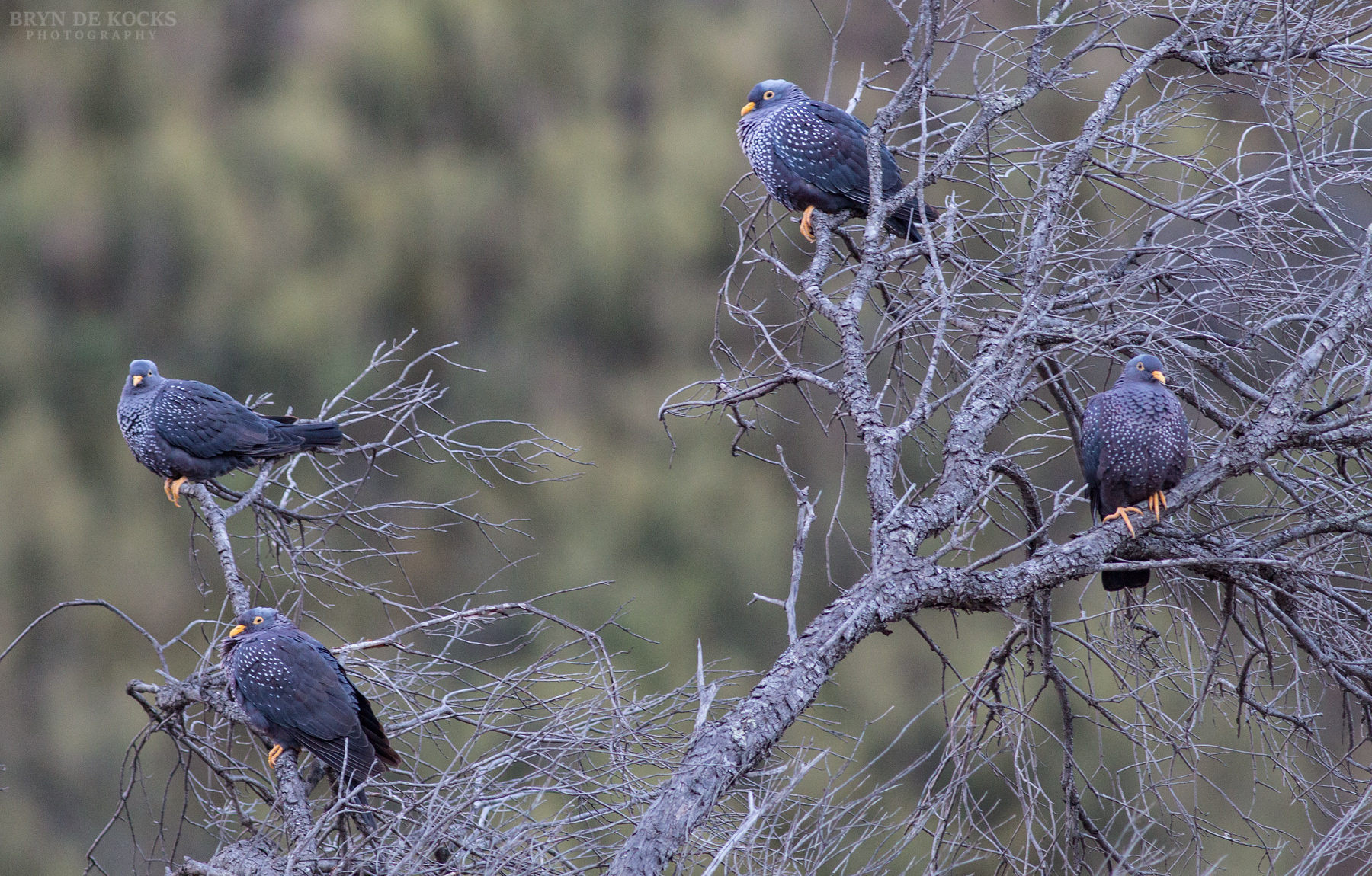 African Olive Pigeons