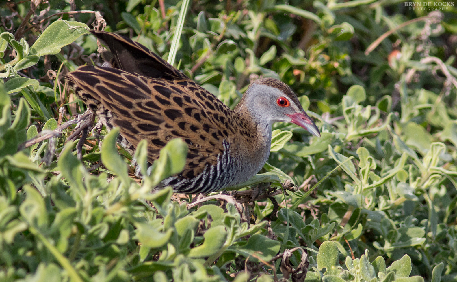 african crake cape town