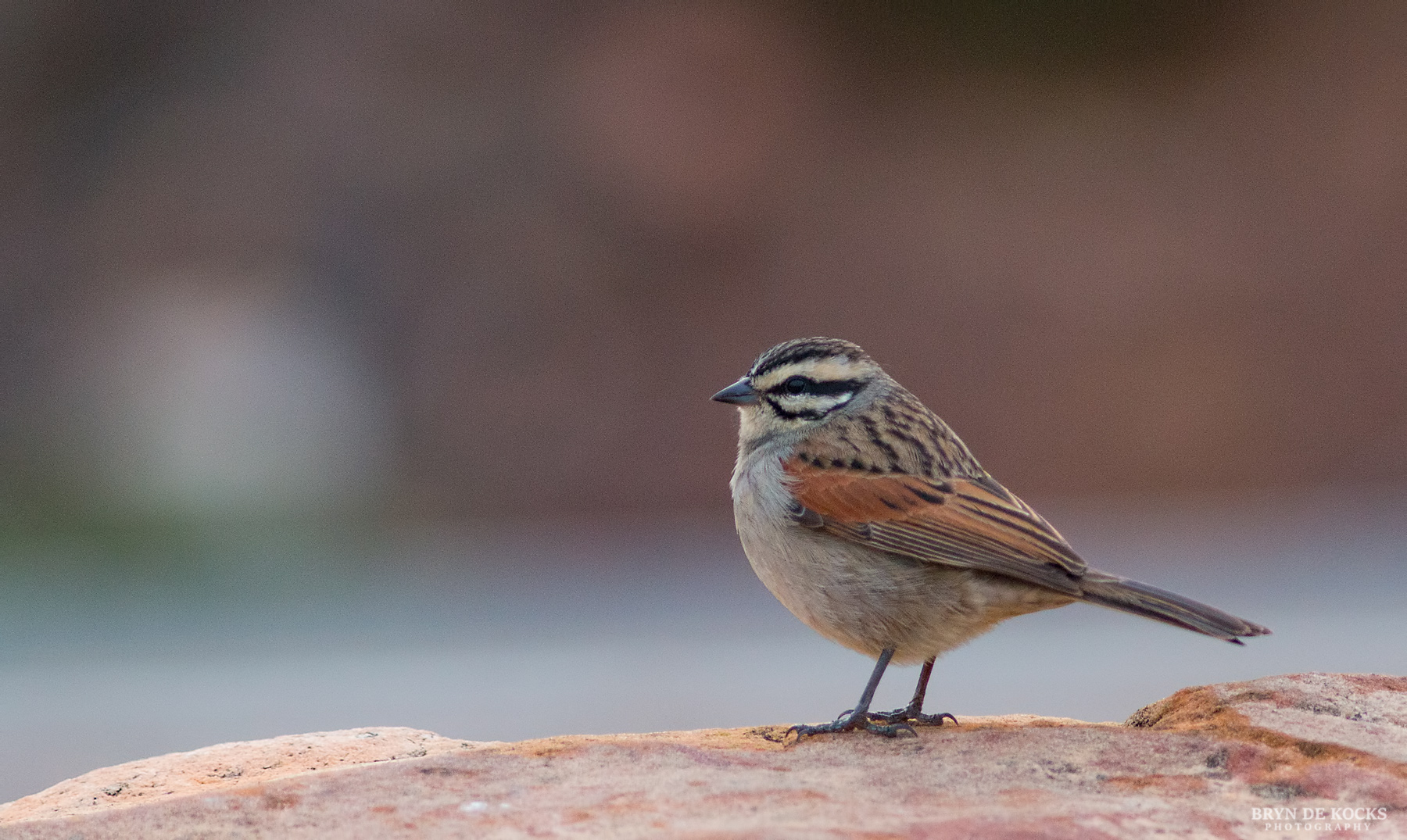 cape-bunting
