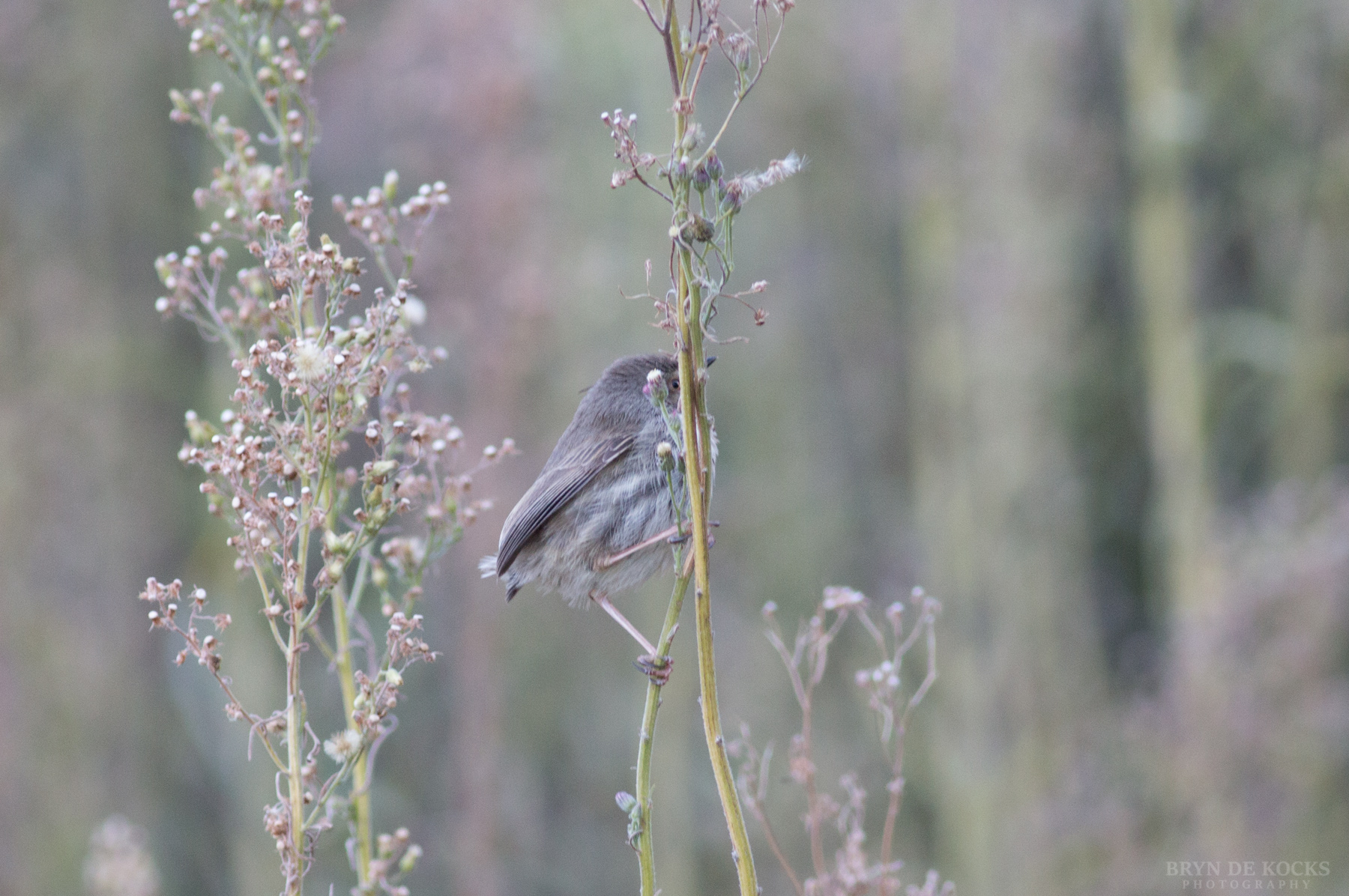 Karoo Prinia with no tail