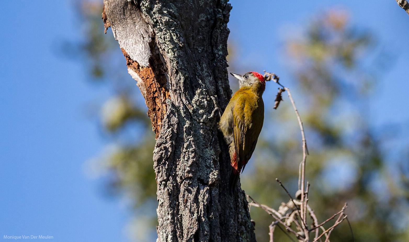 olive-woodpecker-by-Monique-Van-Der-Meulen