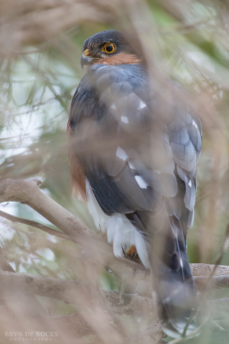 rufous-chested-sparrowhawk
