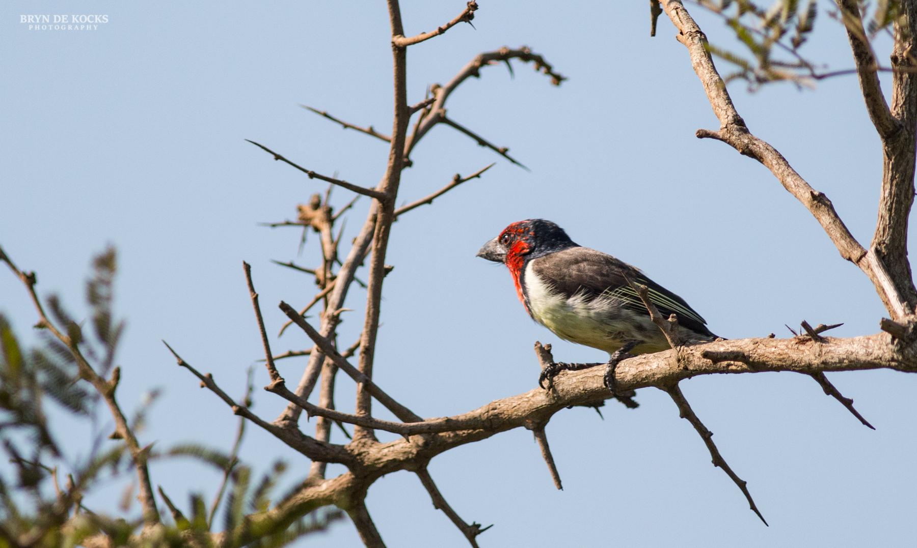 black-collared-barbet