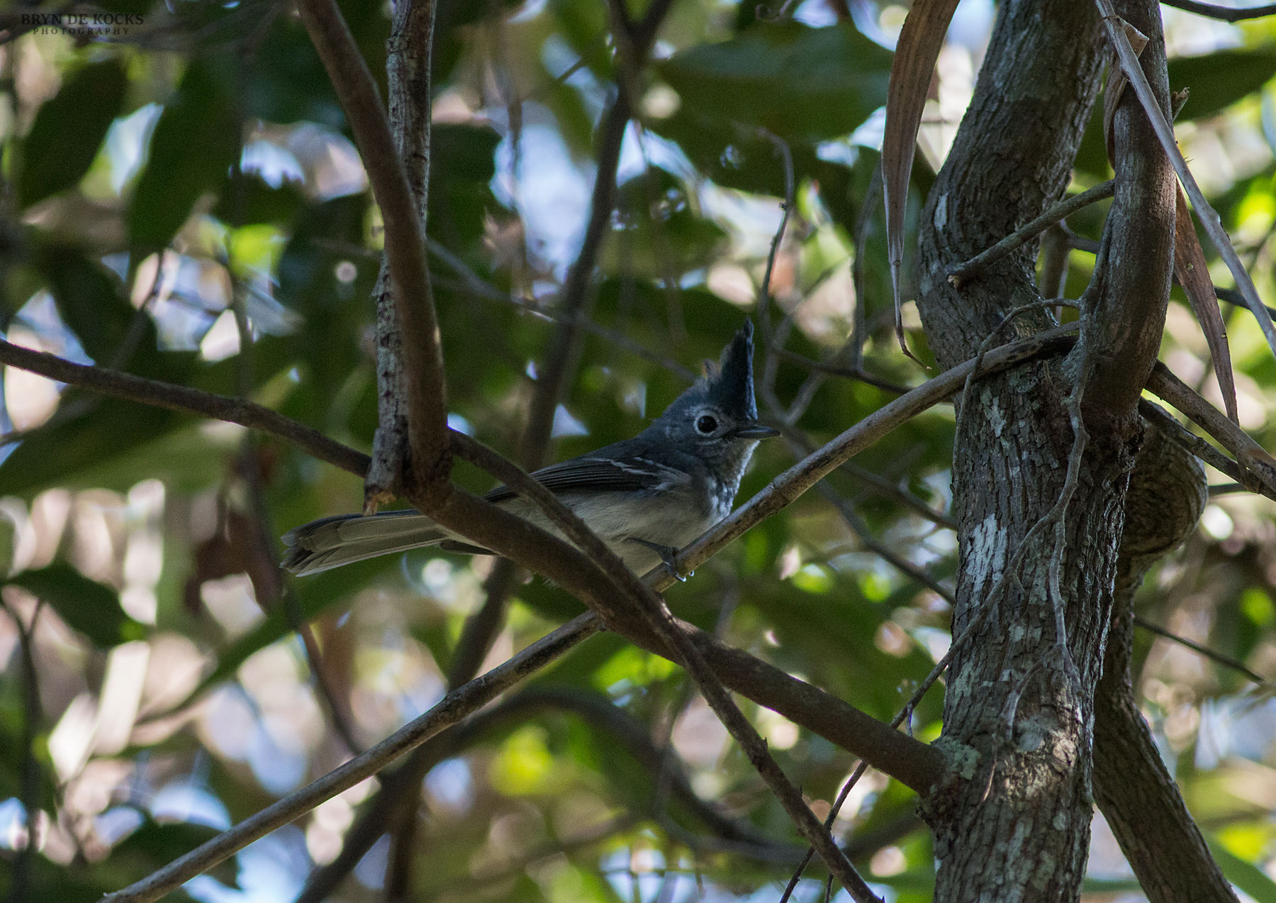 blue-mantled-crested-flycatcher