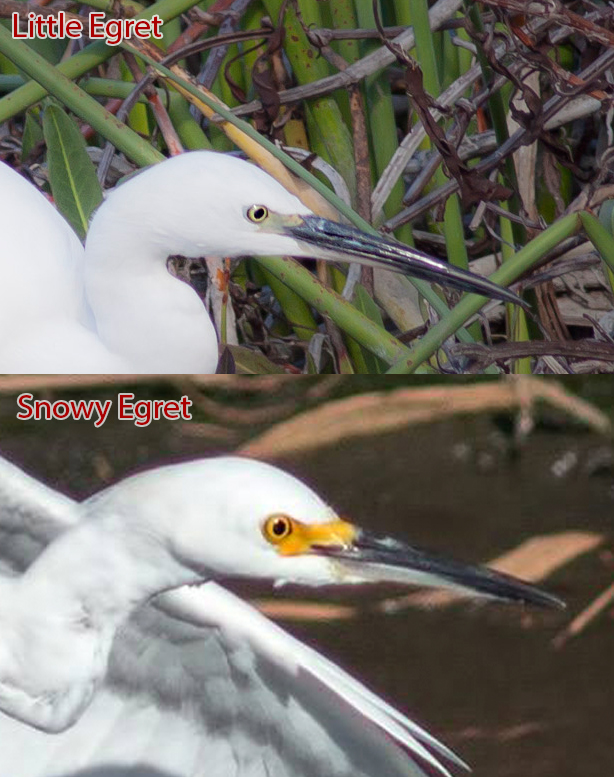 little-egret-vs-snowy-egret