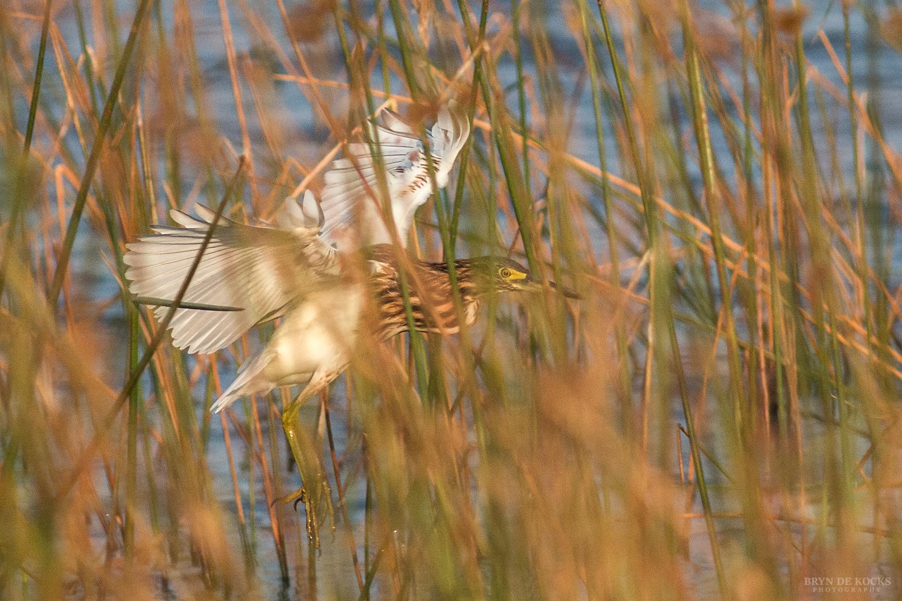 malagasy-pond-heron