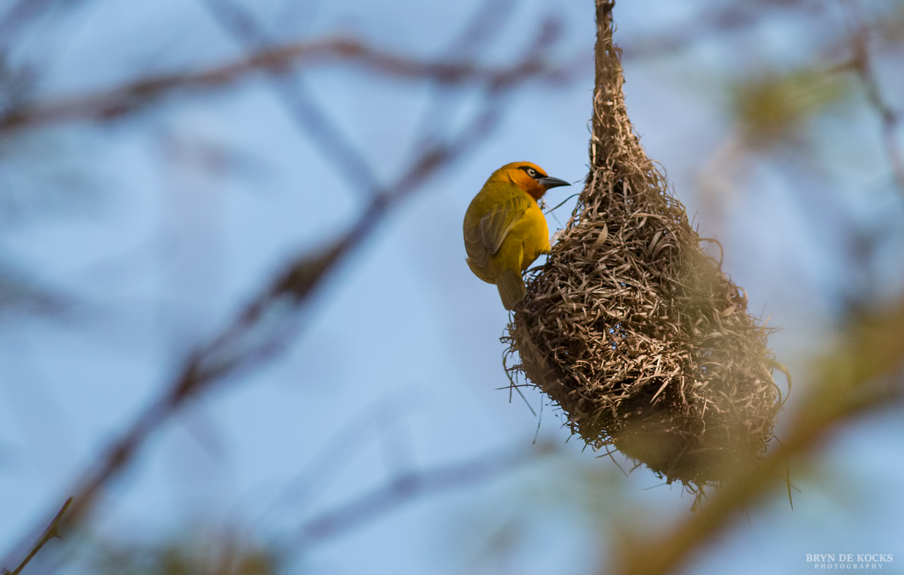 spectacled-weaver