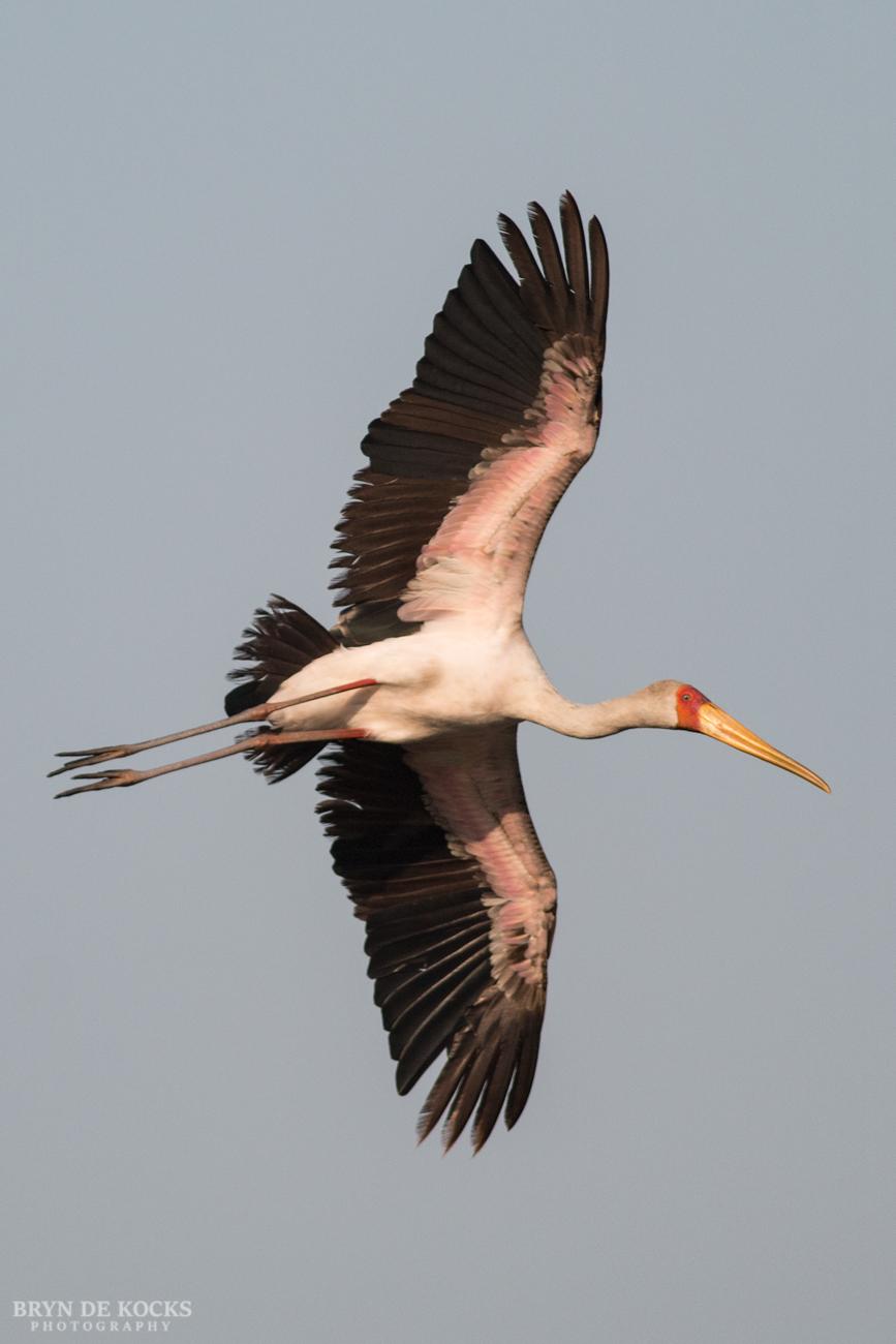 yellow-billed-stork