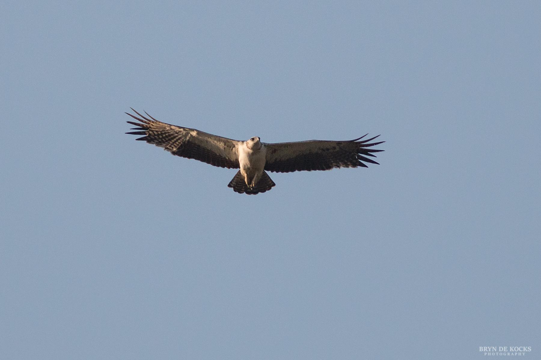 Young Martial Eagle