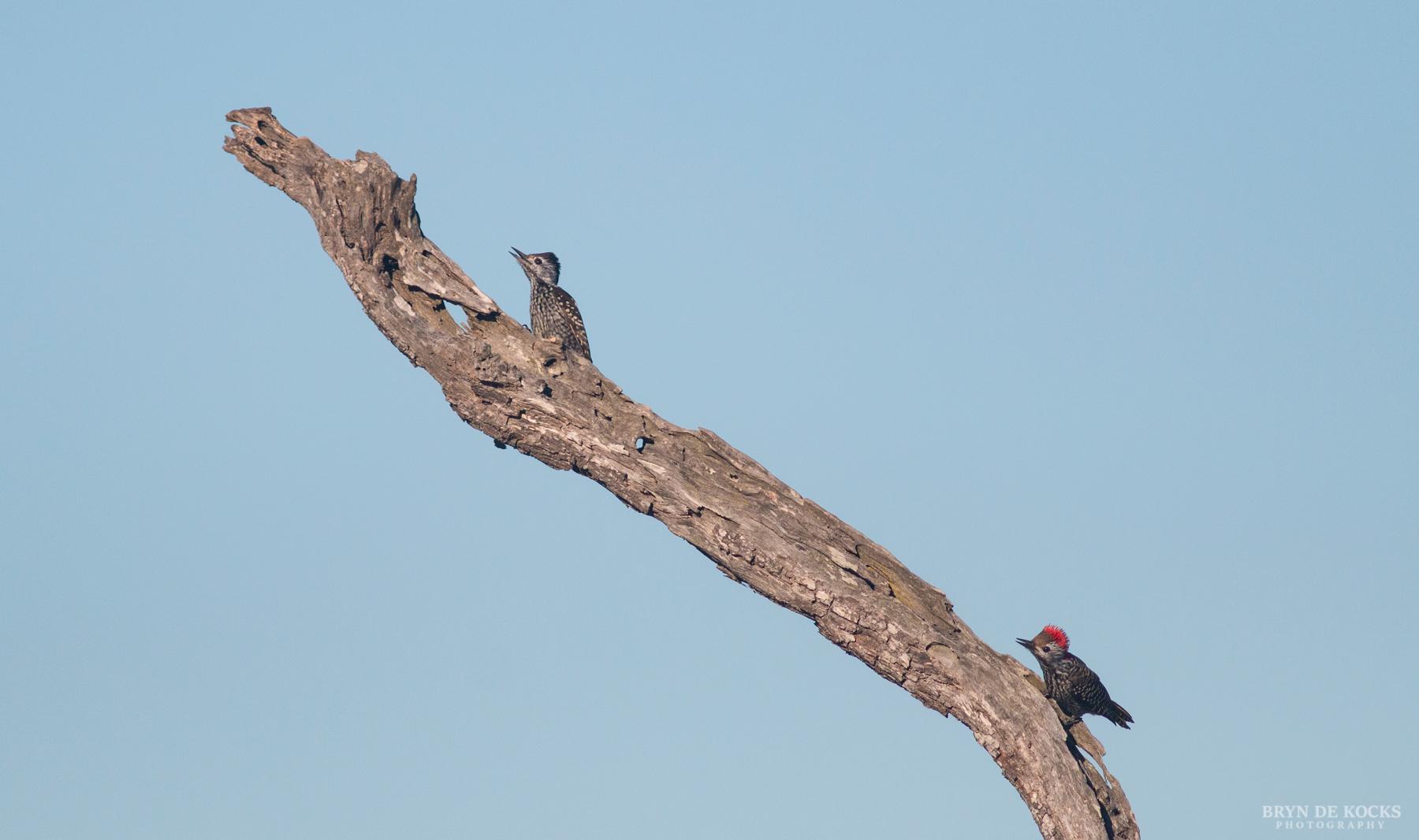 cardinal-woodpeckers