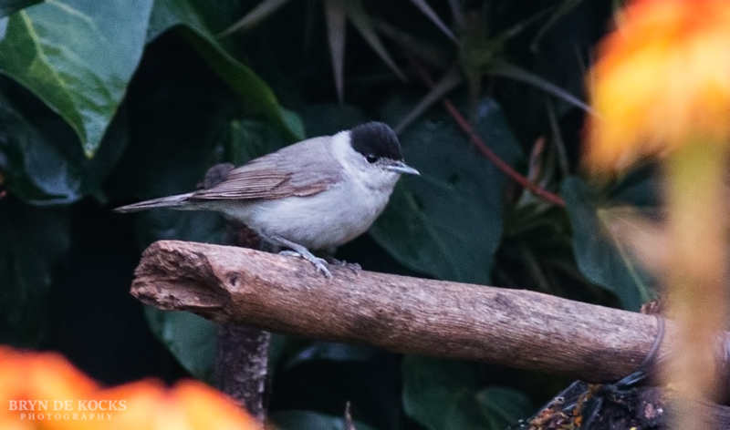 Eurasian Blackcap in Durbanville
