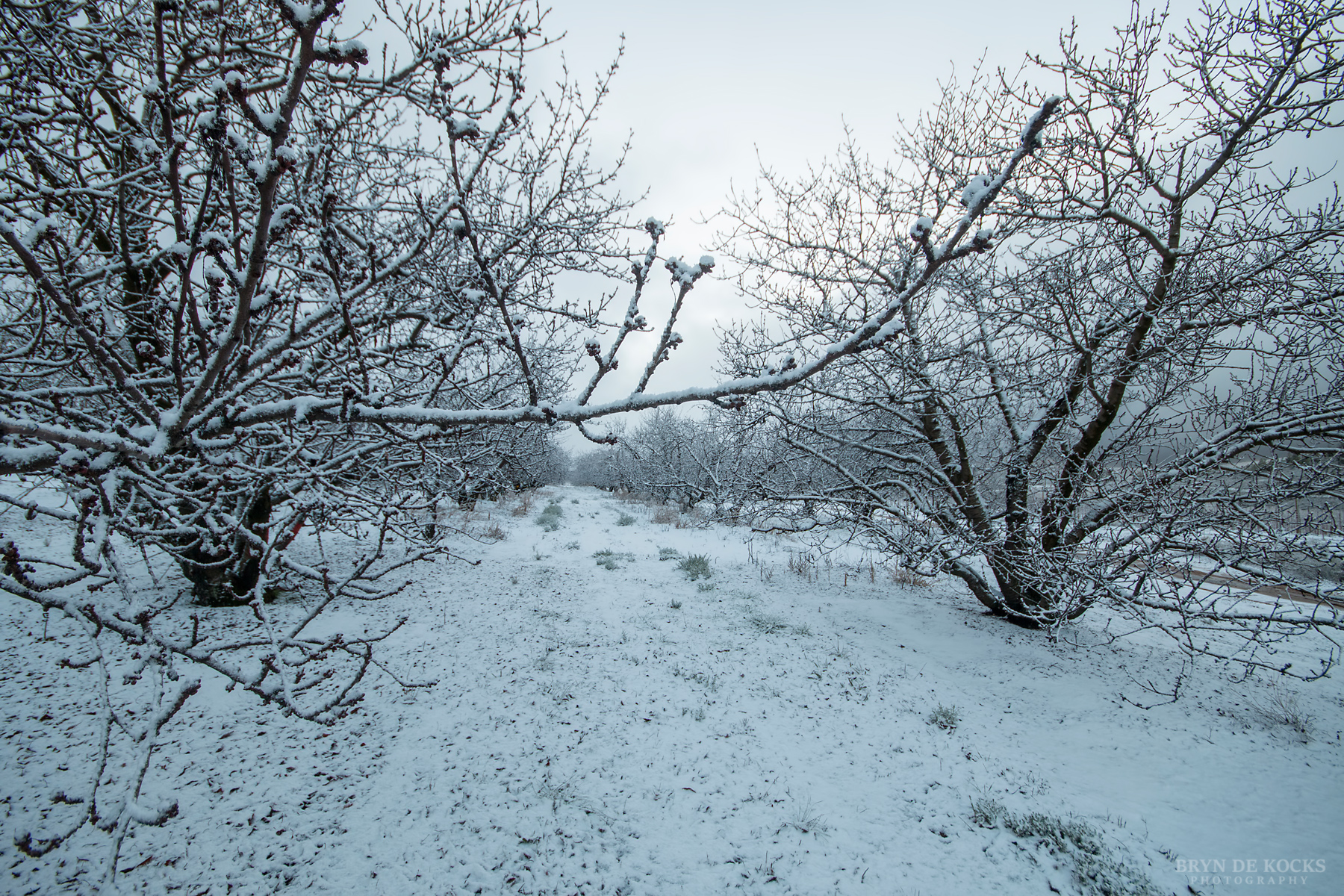 Klondyke Snow Orchard