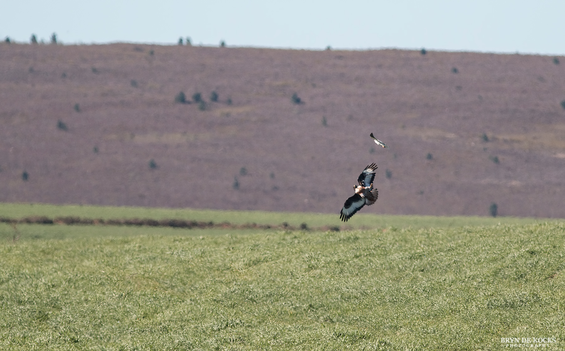 Jackal Buzzard being attacked by Black Shouldered Kite