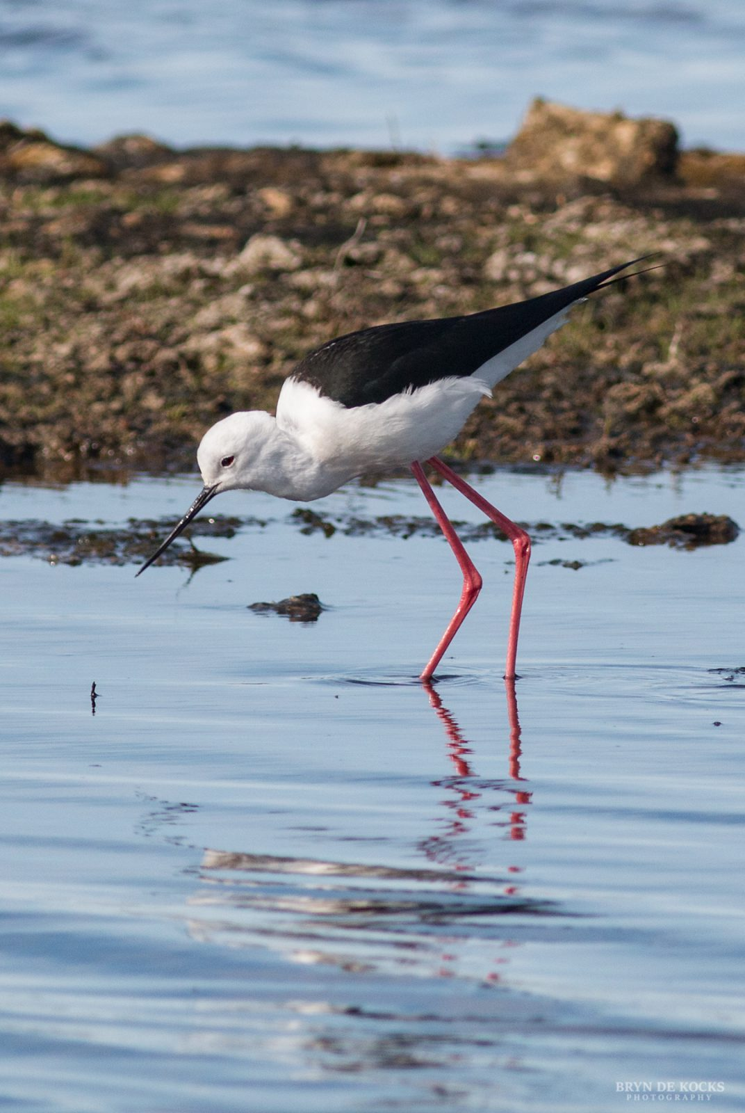 Blackwinged Stilt
